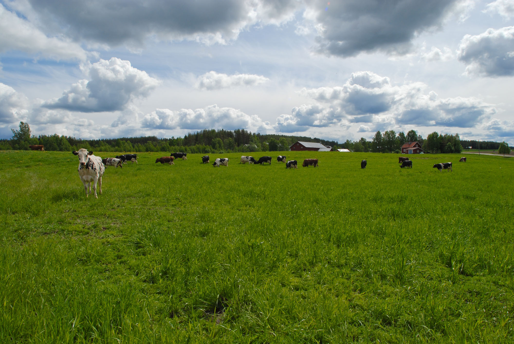 Cows grazing in the fresh green pasture.
