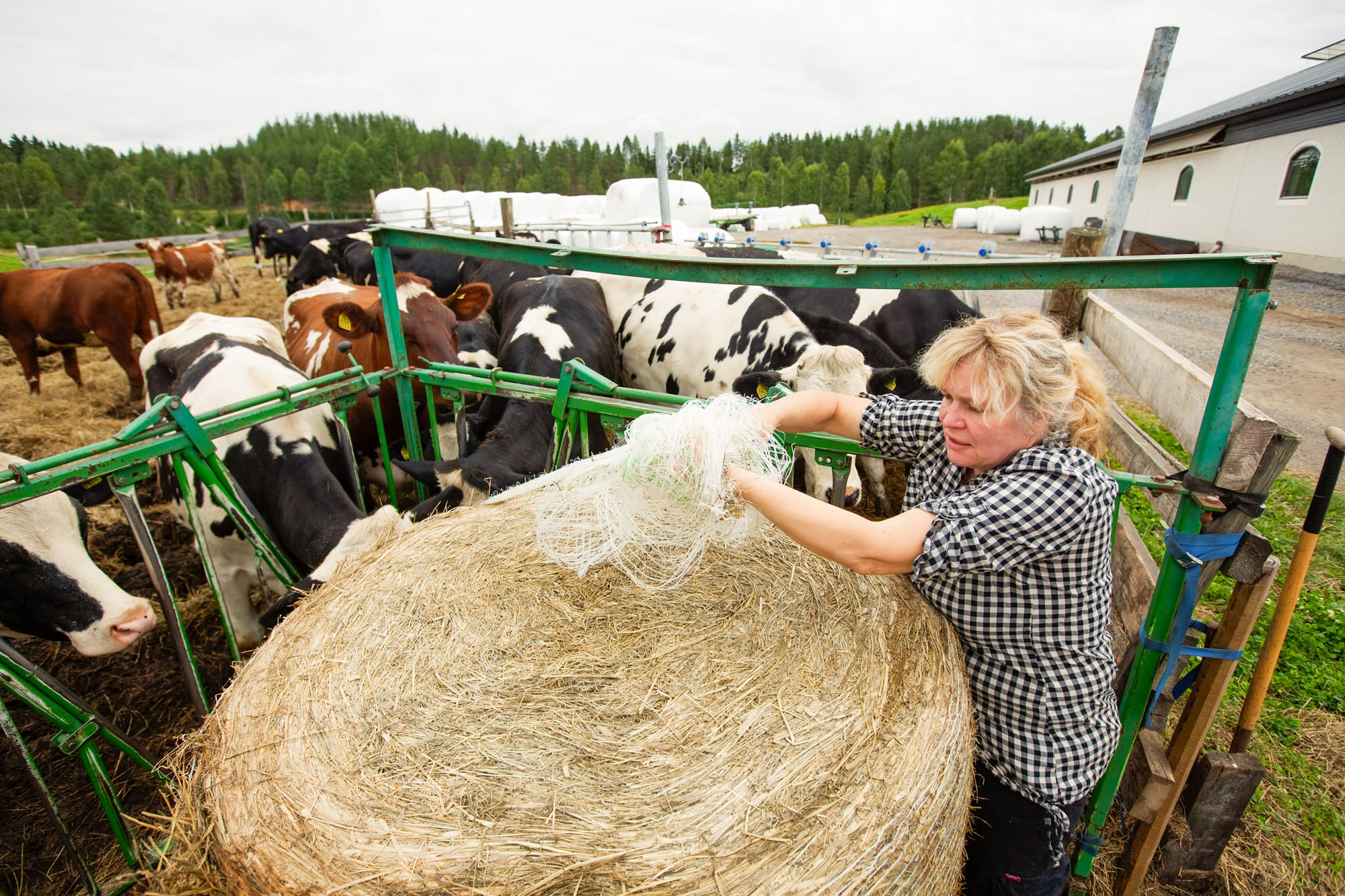 Feeding heifers in the heifer pasture. - Photo: Patrick Degerman, www.degerman.se