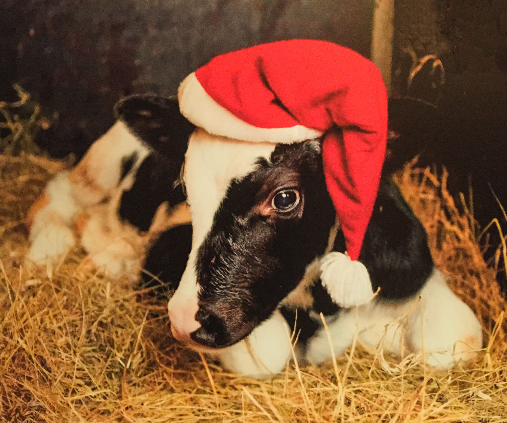 Merry Christmas from the calves.