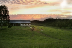 Heifers at dusk.