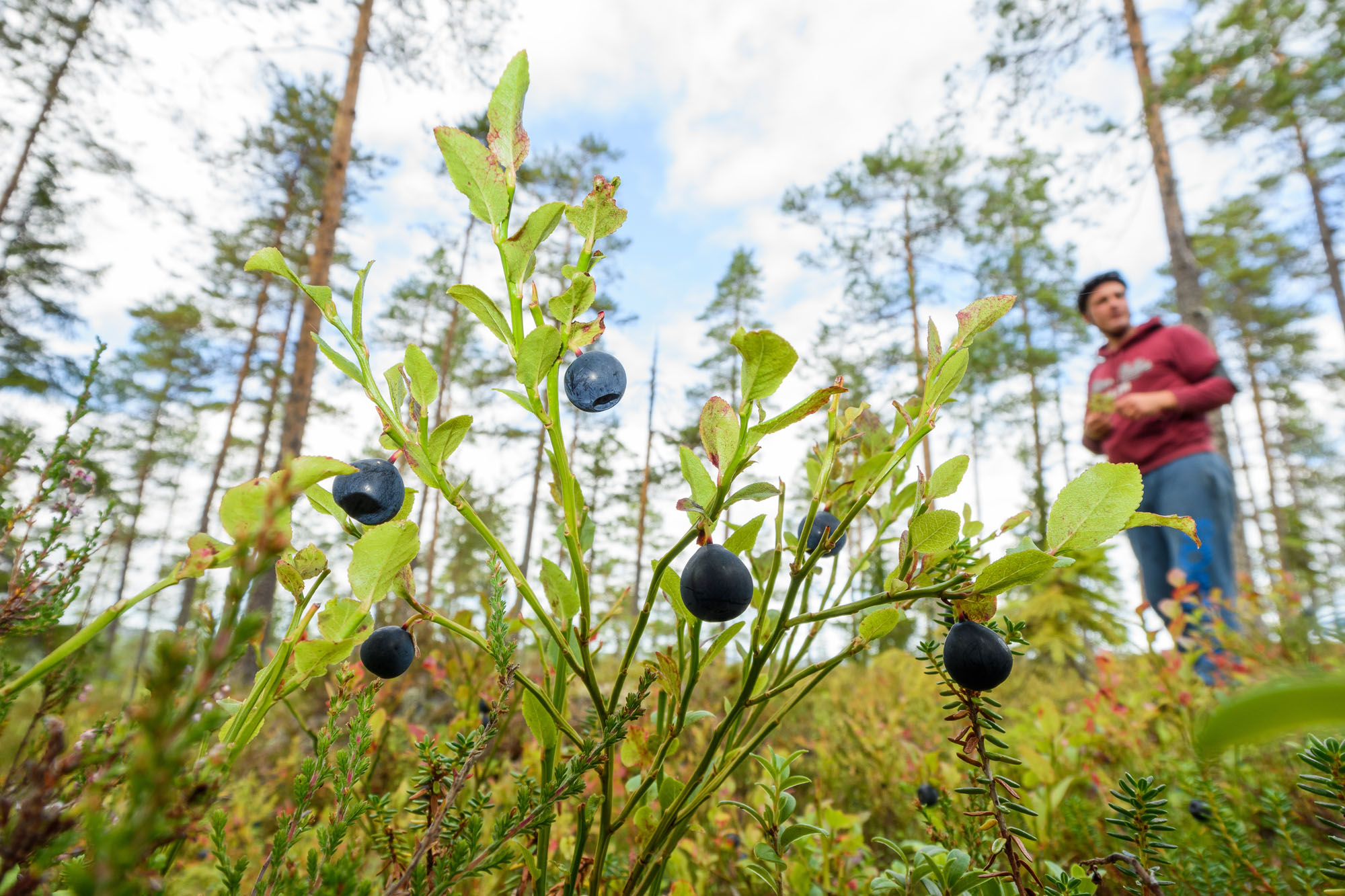 Picking blueberries in the forest..